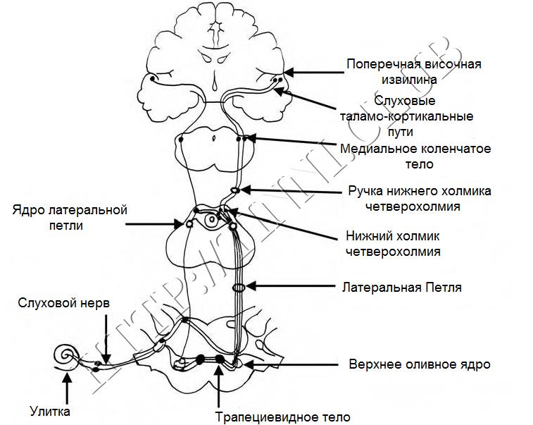 Структура слуховой системы и её основных связей