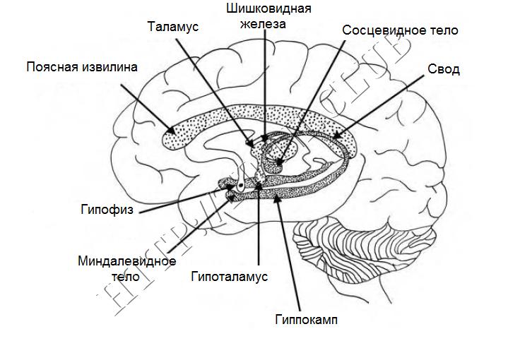 Упрощенная структура лимбической системы